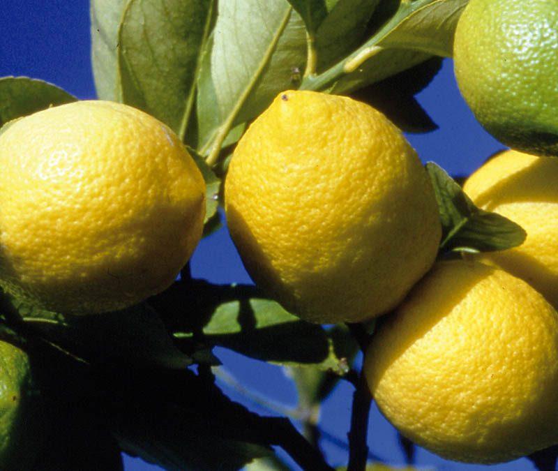 Menton, ville du citron